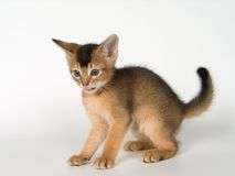 Kitten. Of Abyssinian breed in conditions of studio Royalty Free Stock Photography