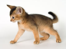 Kitten. Of Abyssinian breed in conditions of studio Stock Image