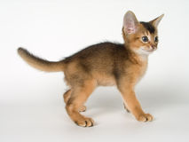Kitten. Of Abyssinian breed in conditions of studio Stock Images