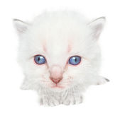 Kitten. Small kitten on a white background Stock Image
