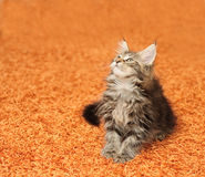 The kitten Stock Photography