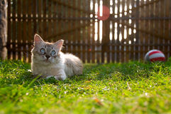 Kitten. Playing in the grass (shallow depth of field Stock Images