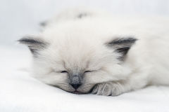Kitten. Grey kitten sleeping on white floor Stock Image