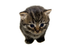 Kitten. Royalty Free Stock Photo