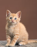 Kitten. Beautiful kitten cat studio portrait Royalty Free Stock Photos