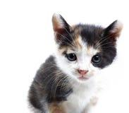 Free Kitten Royalty Free Stock Images - 14365069