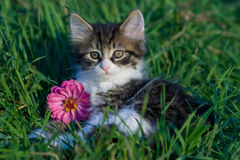 Kitten. A small white kitten with black and brown stripes laying in the grass with a pink Zinnia flower looking straight ahead with a perky attitude Stock Photo