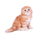 The kitten Royalty Free Stock Images