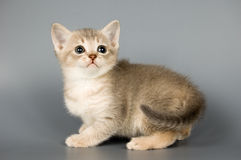 Kitten. Whom the first time poses in studio Royalty Free Stock Photos