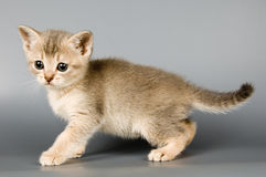 Kitten. Whom the first time poses in studio Stock Images