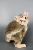 Kitten. Whom the first time poses in studio Royalty Free Stock Photography