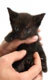 Kitten. Black sad  kitten in hands Royalty Free Stock Photography