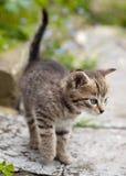 Kitten. A small tabby kitten hunting in a garden Royalty Free Stock Photo