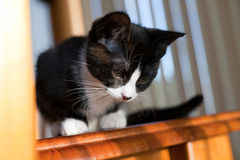 Kitten. A cute black and white kitten looking down from a table top Royalty Free Stock Photos