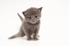 Kitten. On a white background Royalty Free Stock Photography