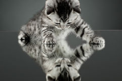 Kitten. Fluffy gray beautiful  kitten, breed scottish-straight,  stay on glass mirror,   on grey background  , look on himself