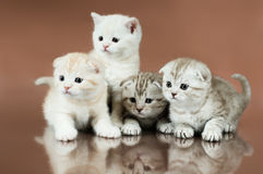 Kitten. Group of four fluffy  beautiful kitten, breed scottish-fold,  on brown  background Stock Photography
