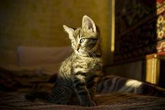 Kitten. Young cat in the room Stock Photos