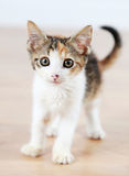 Kitten. Cute young kitten standing on a wood floor Stock Images