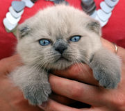 Kitten. With blue eyes Royalty Free Stock Photography