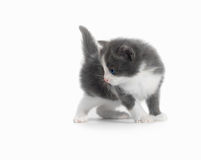 Kitten  Stock Photography