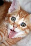 Kitten. Red kitten with open mouth Stock Photo