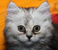 Kitten. Photo of young kitten. Big eyes Stock Images