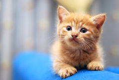 Kitten. Small kitten cute at the blue sofa bed royalty free stock photos