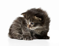 Kitten. Small 3 week old kitten maine coon Royalty Free Stock Photography