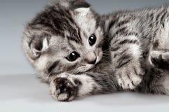 Kitten Royalty Free Stock Photo
