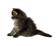 Kitten. One month old cat maine coon Royalty Free Stock Image