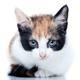 Kitten. Square kitten portrait on white background royalty free stock image