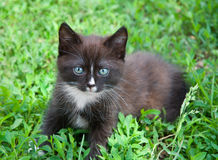 Kitten. The brown kitten sits in a green grass Royalty Free Stock Photography