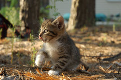 Kitten. This is kitten, hunting in a wood royalty free stock photo