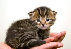 Kitten. Small kitten on a palm stock photography
