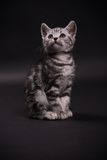 Kitten. Tabby kitten with black background Royalty Free Stock Photo