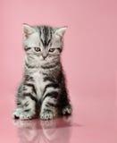 Kitten. The grey  stripy unhappy beautiful  little  kitten, sit on pink  background ,  sadness look down Stock Photos