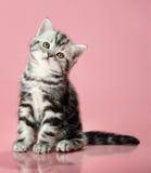 Kitten. The grey  stripy beautiful little  kitten, sit on pink  background , look on camera Stock Images