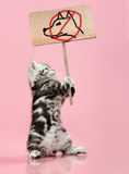 Kitten. Fluffy gray beautiful  kitten, breed scottish-straight, hold  banner on pink  background  , protest action contra dog Royalty Free Stock Images