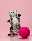 Kitten. Fluffy gray beautiful kitten, breed scottish-straight, look up and play upright on pink background royalty free stock photos