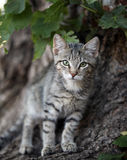 Kitten. Little kitten posing for a shot Royalty Free Stock Photography