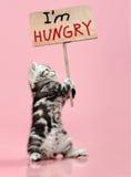 Kitten. Fluffy gray beautiful  kitten, breed scottish-straight, hold  banner on pink  background  , protest action Stock Photo