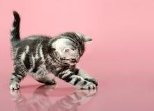 Kitten. Fluffy gray beautiful  kitten, breed scottish-straight, play upright  on pink  background Stock Photos