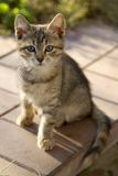 Kitten. Central Russia the Balkans in the country Royalty Free Stock Image
