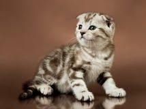 Kitten. Beautiful  little kitten,  breed scottish-fold,   on brown  background  , stare look Stock Image