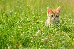 Kitten. Fluffy kitten on a green grass Stock Photo