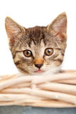 Kitten. Young domestic kitten looking out of basket over white background Royalty Free Stock Image
