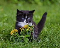 Kitten. A kitten is watching the butterfly Stock Images