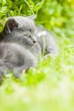 Kitten. Young grey kitten lying in the garden on fresh green grass Stock Photo