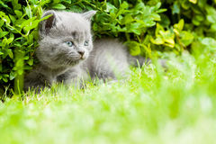 Kitten. Young grey kitten lying in the garden on fresh green grass Royalty Free Stock Photography